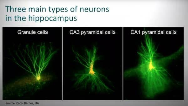 We now know that there is no cell loss in the principal cells in the hippocampus during normal aging. Memory and the aging brain.